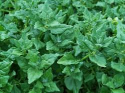 Nieuw-Zeelandse spinazie (Tetragonia tetragonioides)
