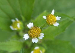 Plantbespreking: Knopkruid (Galinsoga)