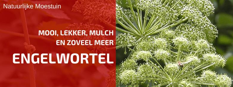 Plantbespreking: Grote Engelwortel (Angelica archangelica L.)