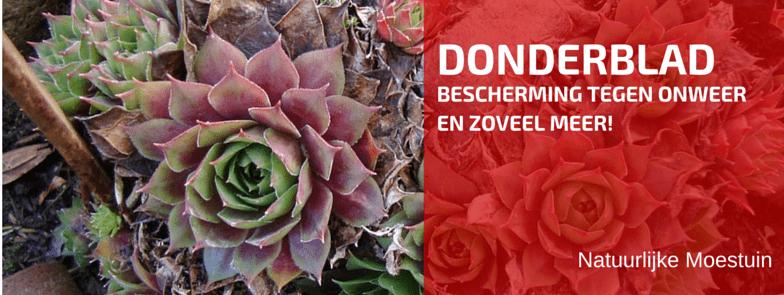 Kruidenbespreking: Donderblad of echt huislook (Sempervivum tectorum)