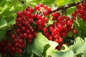 Snoeicursus Kleinfruit: Rode bes, Framboos en Braambes