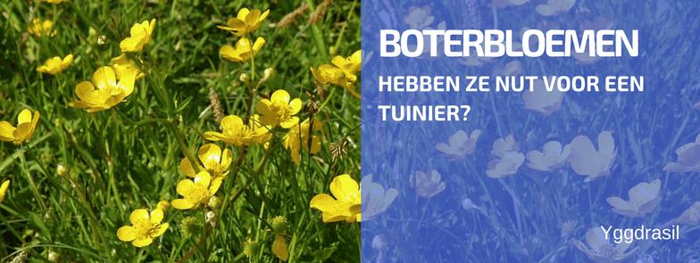 Plantbespreking: De Boterbloem