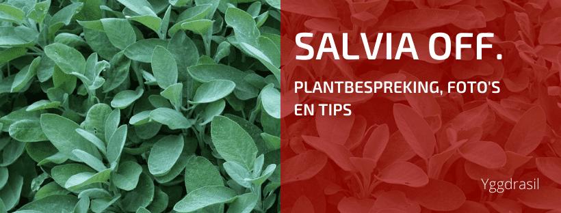 Plantbespreking: Salie (Salvia officinalis)