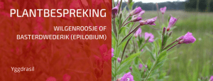Plantbespreking: Wilgenroosje of Basterdwederik (Epilobium)