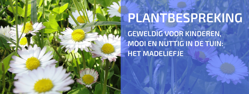 Plantbespreking: Madelief (Bellis perennis)