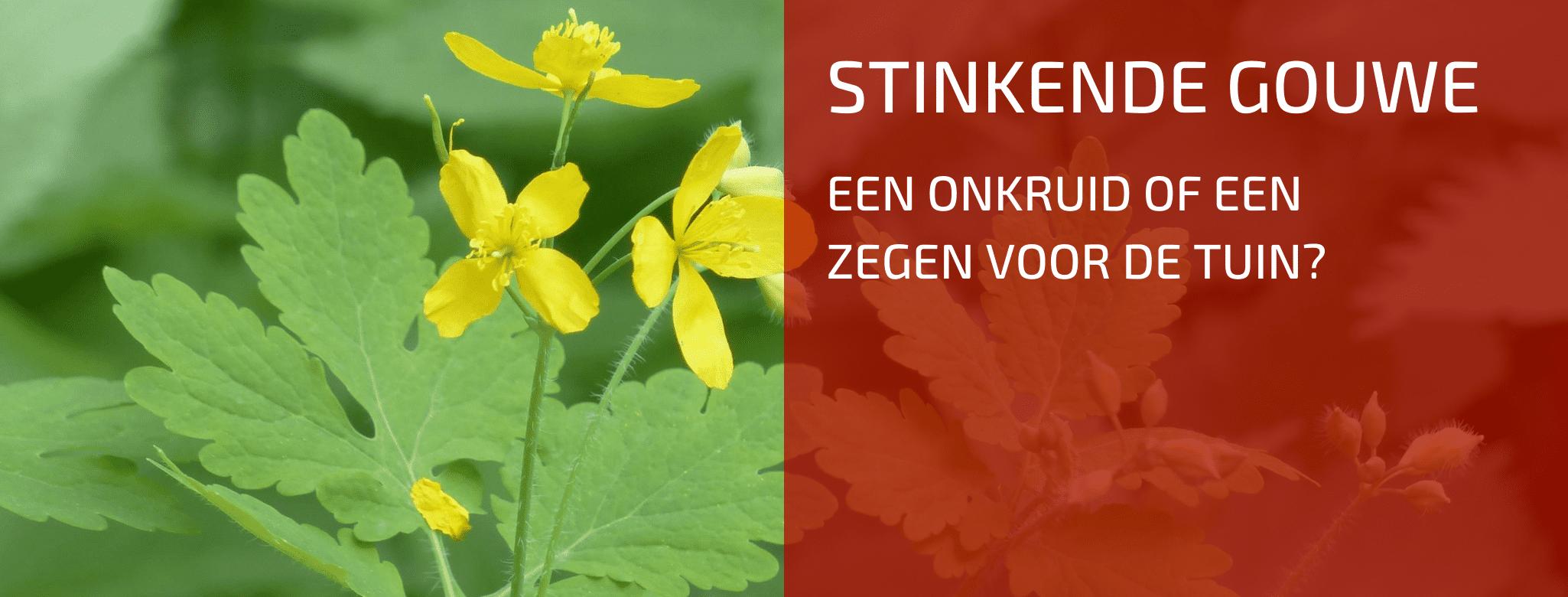 Plantenbespreking: Stinkende Gouwe (Chelidonium majus)