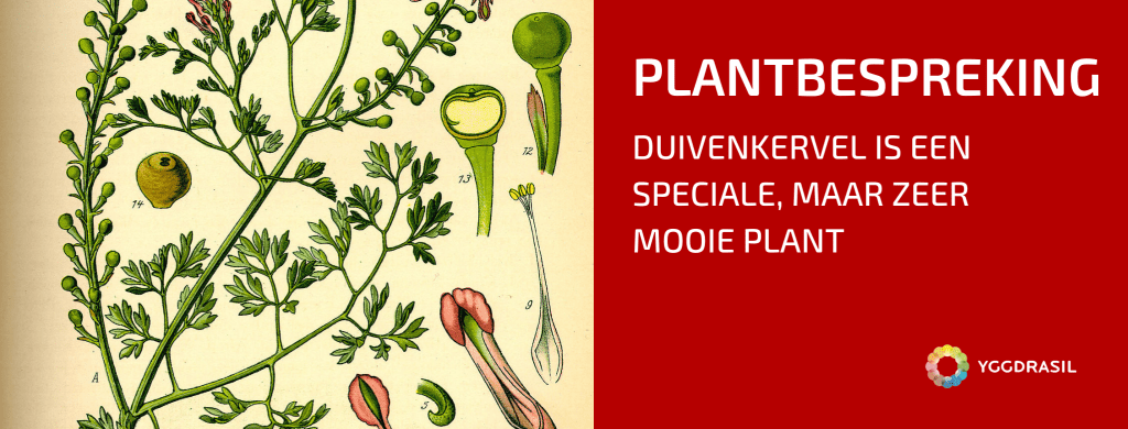 Plantbespreking: Gewone duivenkervel (Fumaria officinalis)